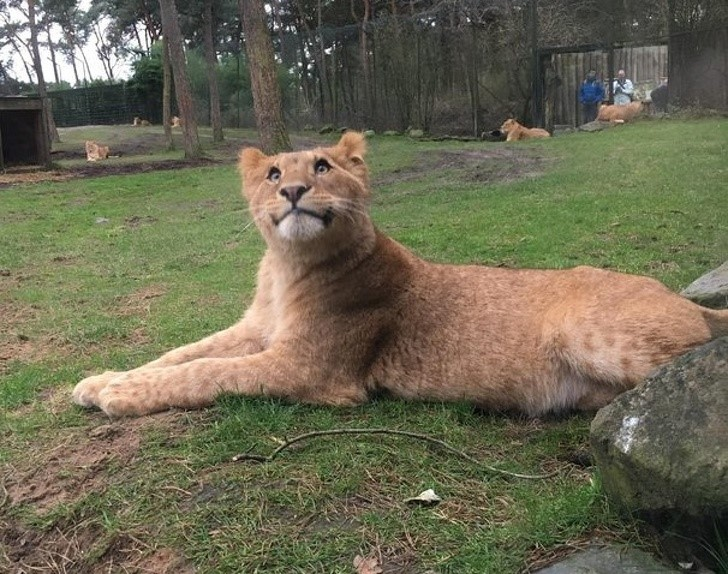 თავისი ღიმილით ნამდვილად აგებს ამ ბედნიერ გაღიმებულ ლომთან